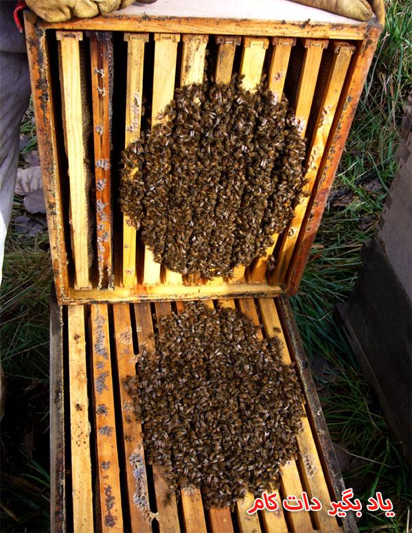 کلونی زنبورها در زمستان