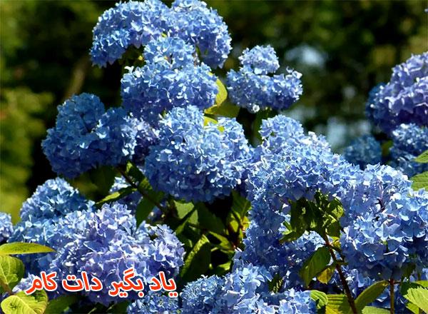 گل های ادریسی دوستدار خاک اسیدی