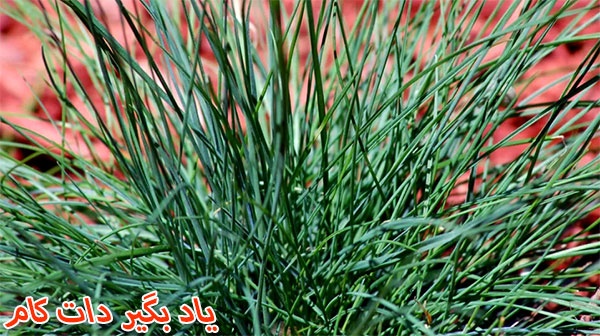 چمن زینتی دوستدار خاک قلیایی