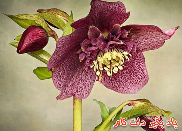 گل رز لنتن دوستدار خاک قلیایی