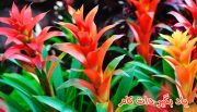 بروملیاد گیاه قابل پرورش در زمستان