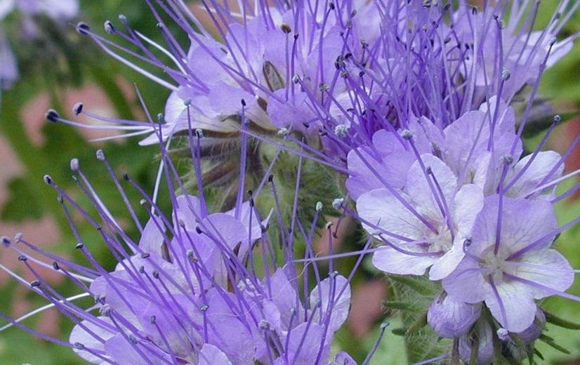 فاسیلیا گیاهی محبوب زنبور
