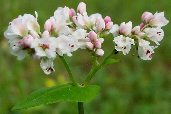 گندم سیاه گیاهی محبوب زنبور