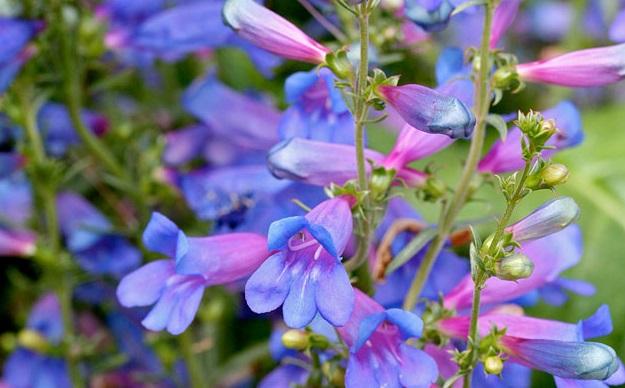 پنستون گیاهی محبوب زنبور