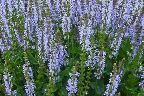سلوی یا مریم گلی گیاهی محبوب زنبور