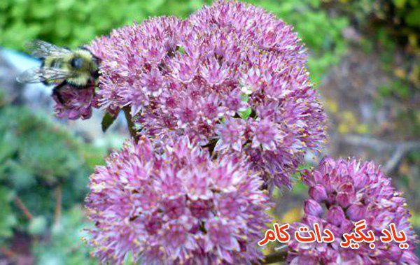 گیاهانی برای زنده ماندن زنبورها