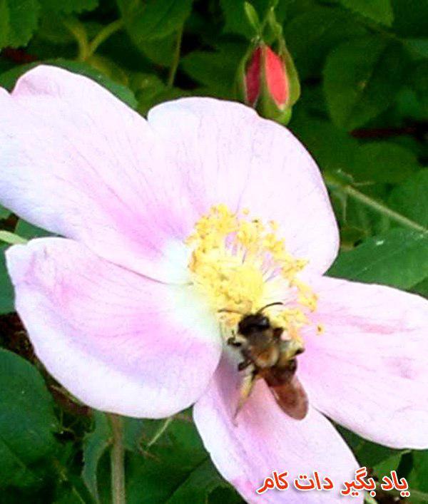 گیاهان مخصوص و محبوب زنبور ها