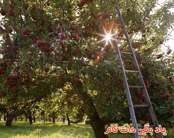 هرس درخت سیب پر شاخ و برگ