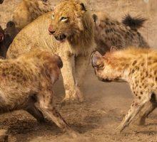فیلم حیات وحش نبرد شیر و کفتار