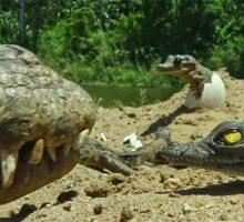 حمایت مادرانه از بچه تمساح ها