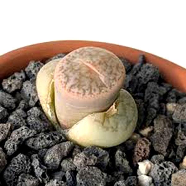 رشد و تکثیر گیاه سنگی