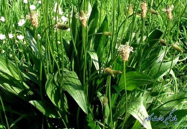 آشنایی با گیاه دارویی بارهنگ