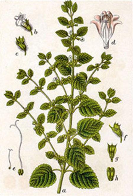 گیاه دارویی بادرنج بویه خواص درمان