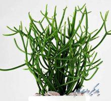 پرورش گیاه افوربیا تیروکالی یا درخت مداد - گیاهان آپارتمانی