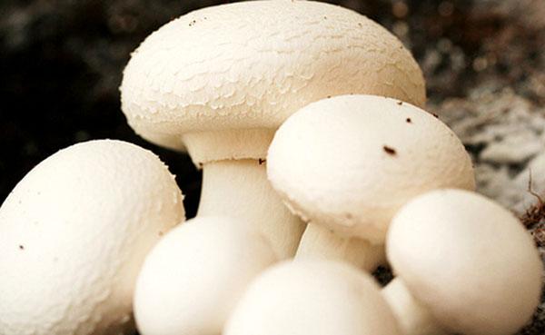 نکات مهم در پرورش قارچ دکمه ای