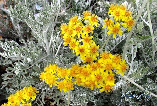 گل دهی سینراریا ماریتیما