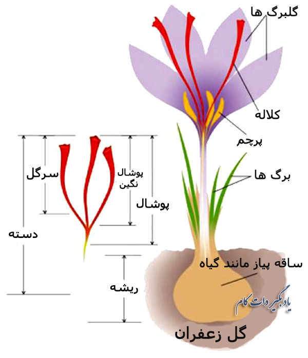 فواید و شرایط کاشت و رشد زعفران