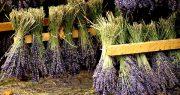 خشک کردن و جمع آوری گیاهان دارویی