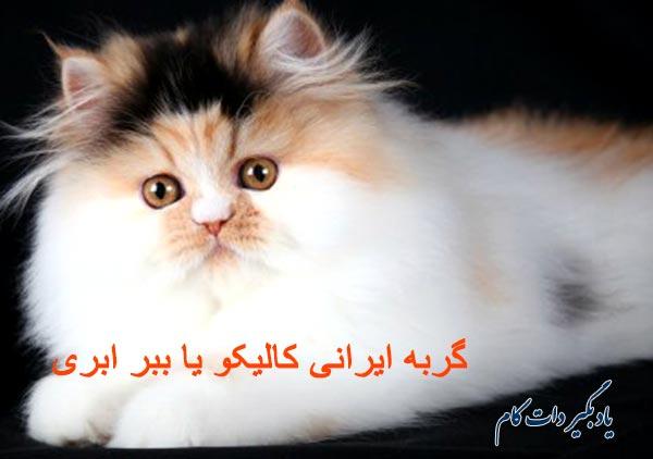 گربه ایرانی ببر ابری