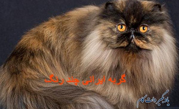 گربه ایرانی چند رنگ