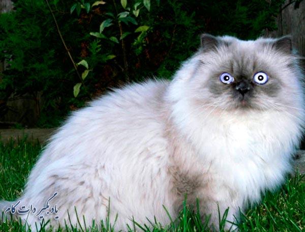 همه چیز گربه ایرانی یا پرشین کت