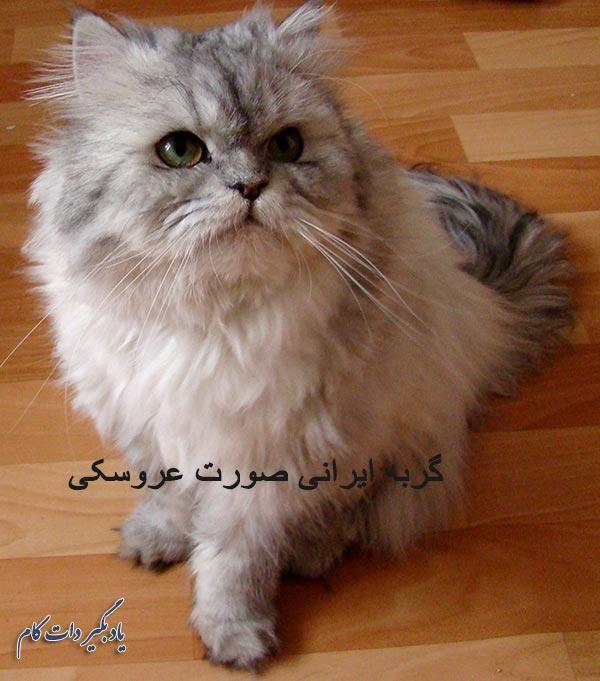 گربه ایرانی صورت عروسکی