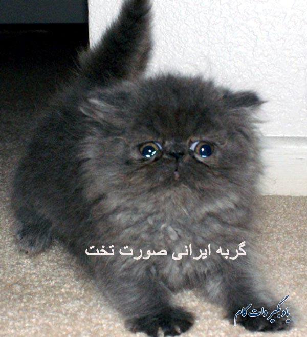 گربه ایرانی صورت تخت