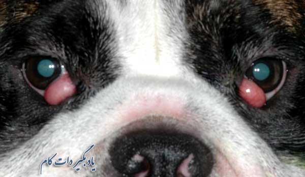 درمان چشم گیلاسی در سگ