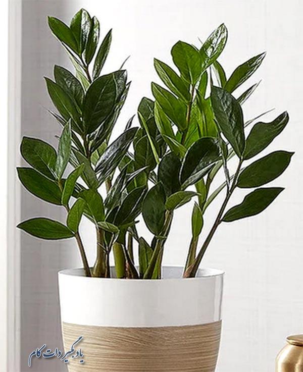 رشد و مراقبت از گیاه زامیفولیا (ZZ)