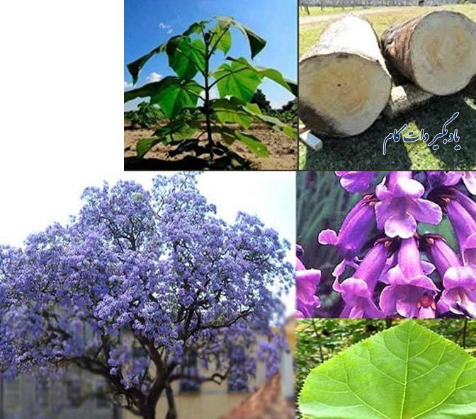 آشنایی، رشد و کشت درخت پالونیا