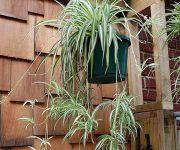 گیاه عنکبوتی